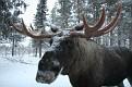 Vittangi Moose Park (22)