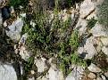 Φασκομηλιά Salvia fruticosa (3)