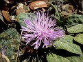 Centaurea aegialophila troodos (3)