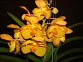Vanda 'Orange Magic'