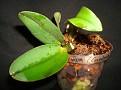 Cattleya walkeriana- 'Cambara' x 'Bertona'