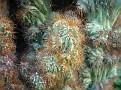 Cereus (5)