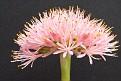 Haemanthus albiflos flower