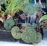 Pelargonium barklyi