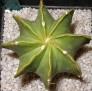 Astrophytum myriostigma nudum hybrid