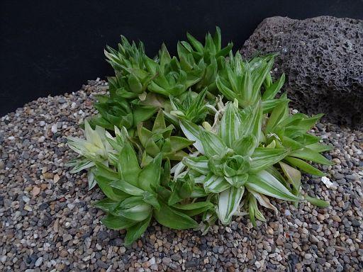 Haworthia cymbiformis fa. variegata