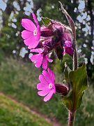 Waldblume