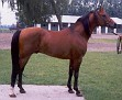 ALEGRO (*Probat x Algeria, by Celebes) 1983-2007 bay stallion bred by Janow Podlaski