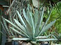 Agave micracantha