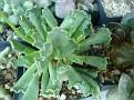 Adromischus cristatus