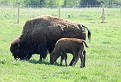 Bison and Calf #16