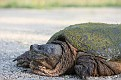Snapping Turtle #7