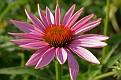 Echinacea - Cone Flower 2