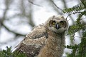 Great Horned Owl Series #22 Second Owlet Fledged!