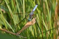 Blue Dasher Dragonfly 5