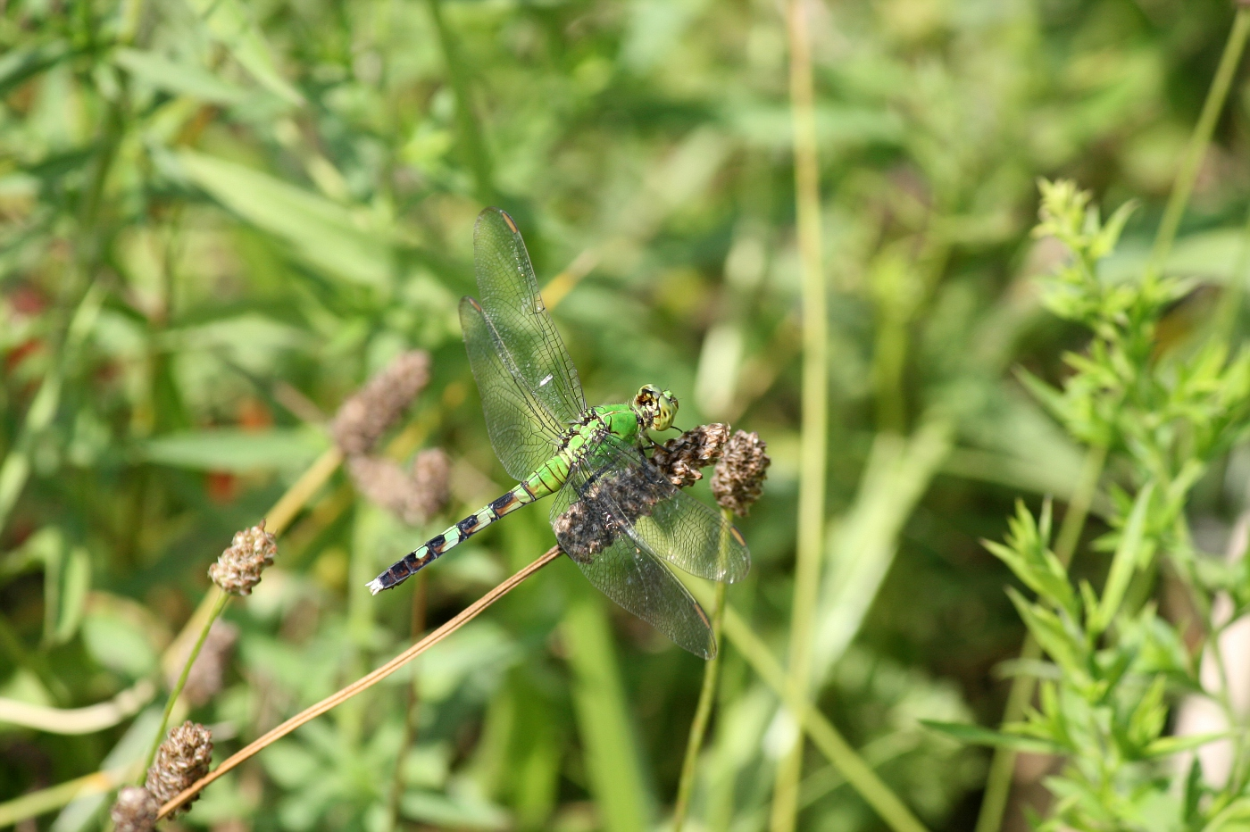 Female Pondhawk #18