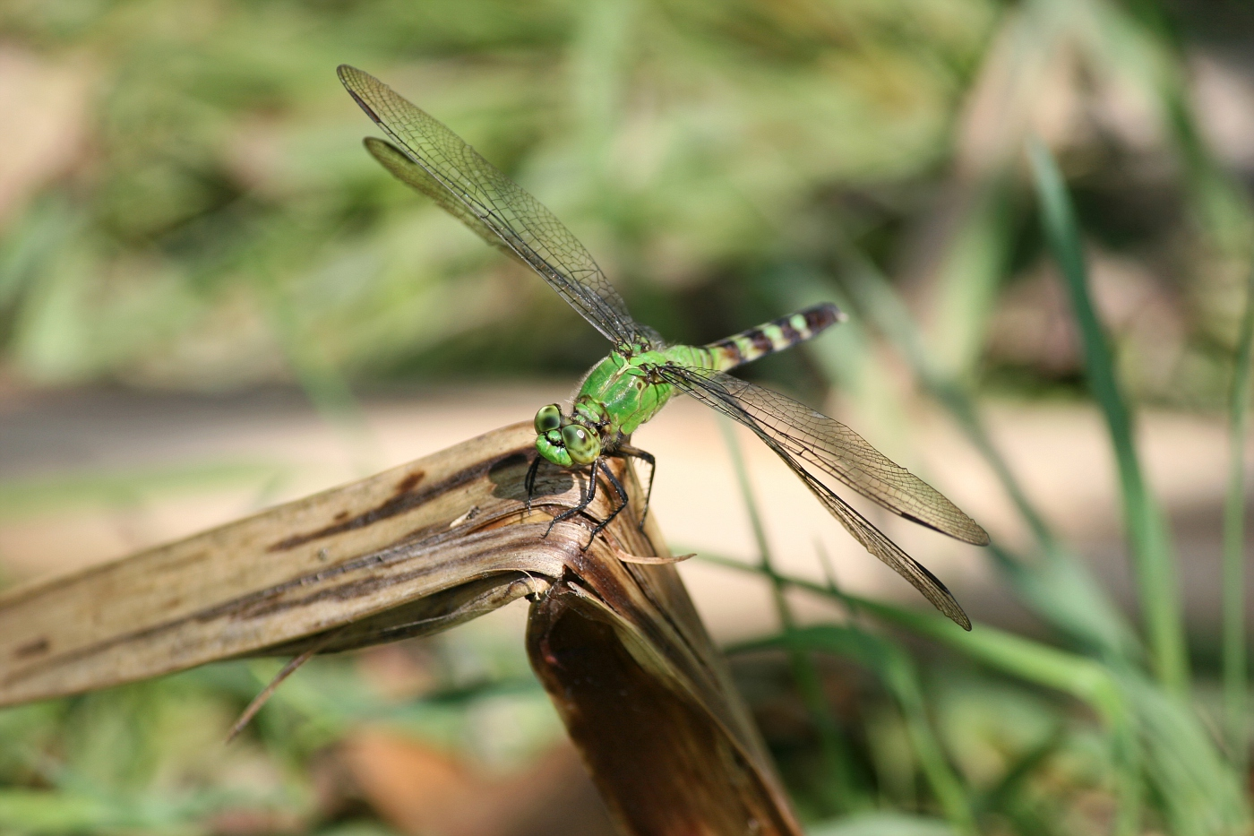 Female Pondhawk #19