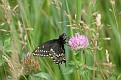 Black Swallowtail #16
