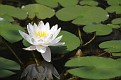 Water Lily #5 2015