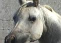 C A GARDENIA #506223 (C A Fuego x C A Princesa, by *GG Samir) 1993 grey mare bred by Wayne Newton
