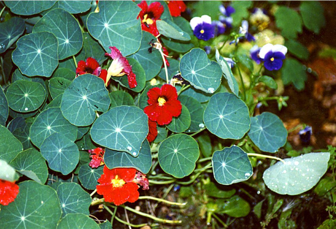 nasturtium and pansies 7 15 02