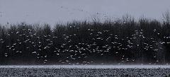 snow-geese2
