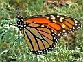 MonarchButterfly005