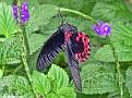 ScarletMormonButterfly002