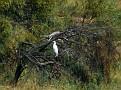 Great Egret near Walgett 001