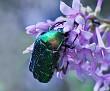 Бронзовка - жук Июньский The June beetle Flower chafers DSC 1497 080 41 1 1