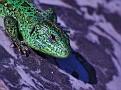 Ящер Lizard DSC 1292 002 4 1
