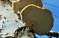 Трутовик Polypore DSC 5865 030 4 1 1dn