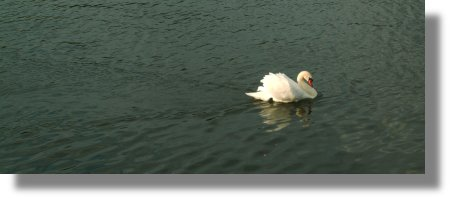 Swan Wake