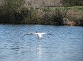 White Pelican Landing 1