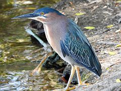 Green Heron - Sepulveda Wildlife Reserve