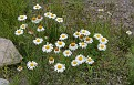 A patch of wild daisies growing by the pond