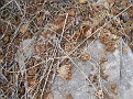 Βολβοί από κρόκους που έχουν φαγωθεί από πέρδικες / Bulbs of crocuses that are eaten by partridges