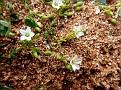 Minuartia thymifolia (2)
