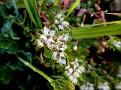 Paronychia argentea (3)