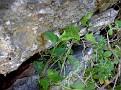 Aristolochia microstoma (3)