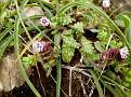 Anchusa variegata  Sedum sp (2)