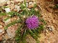 Centaurea raphanina (1)