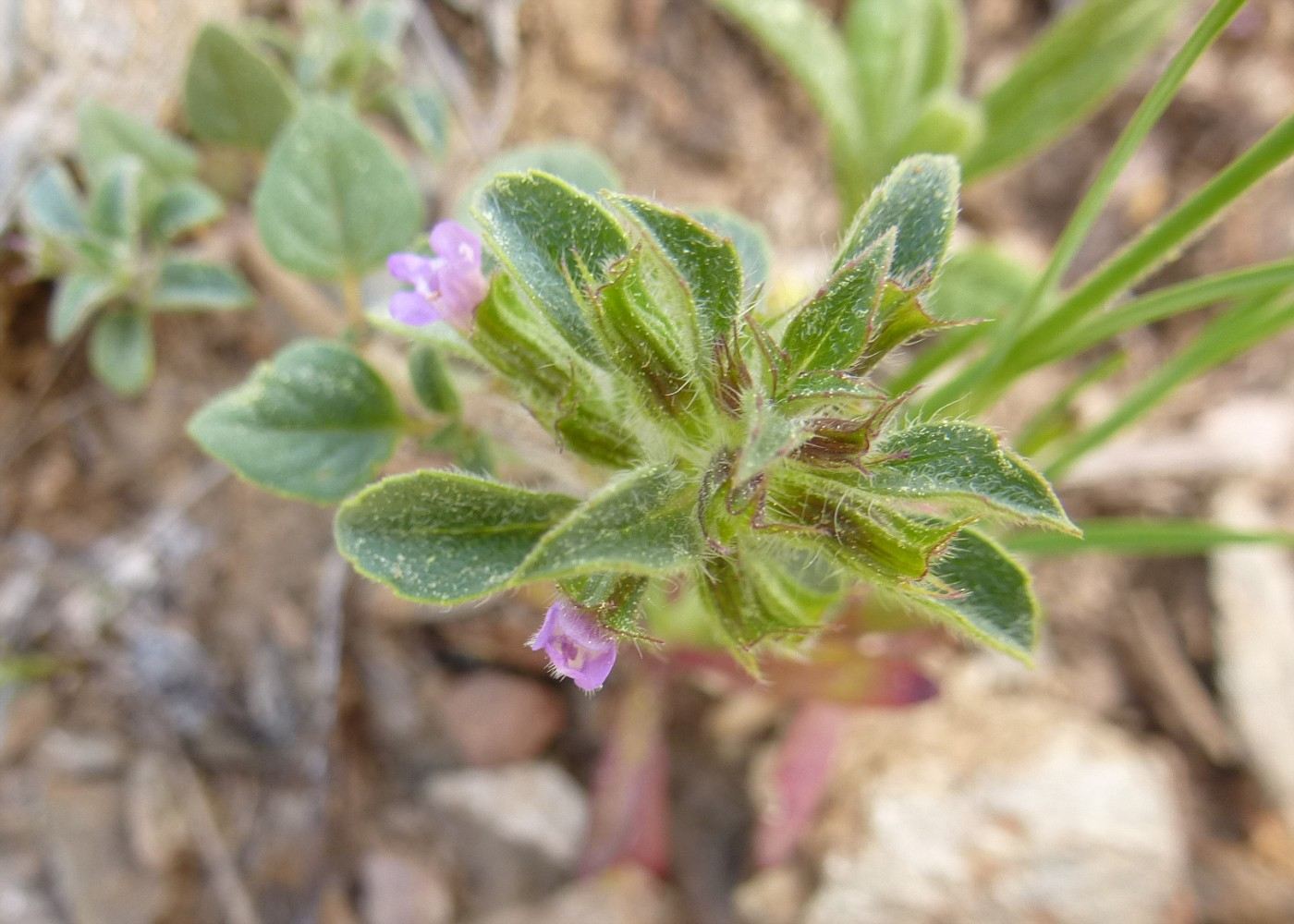 Acinos arvensis (3)