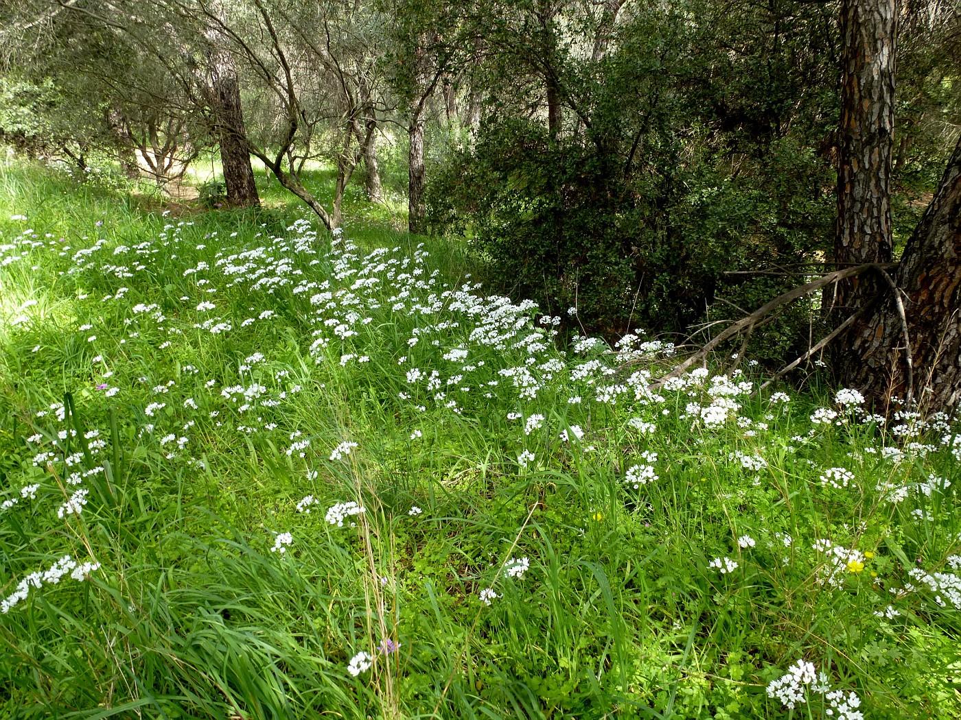Allium neapolitanum (7)