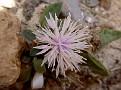 Centaurea aegialophila akamas (3)