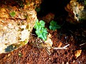 Cyclamen hederifolium  (1)