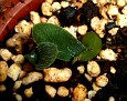Haemanthus albiflos seeds from variegated plant (4)