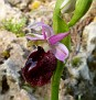 Ophrys (4)