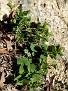 Aristolochia microstoma (4)