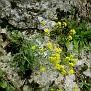 Aurinia saxatilis (5)